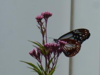アサギマダラ蝶1
